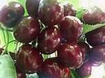 供应葡萄 葡萄树苗 葡萄苗木价格