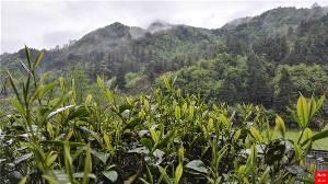 江西名茶—婺源峽谷春茶葉綠茶