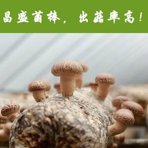河南昌盛寶菇廠家直銷專業定制優質高產出口香菇菌包菌棒長期批發供應