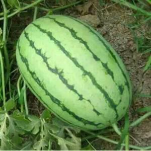 山东潍坊早春红玉西瓜产地代办价格便宜了