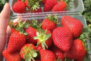 巧克力草莓批发销售