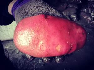 """""""天马故乡""""昭苏高原的绿色有机红皮土豆500吨刚从地里收获,做大盘鸡、做酸辣土豆丝最棒,口感沙沙的"""