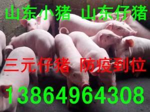 山东仔猪批发价格 山东沂水仔猪价格-苗猪小猪价格