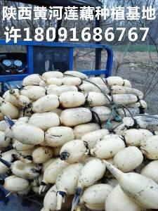 陜西商洛泥蓮藕出售批發供應價格泥菜保存方法哪里有大面積種植基地
