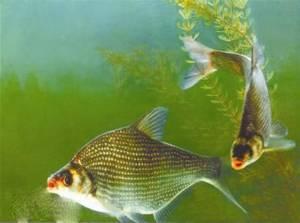 養殖場直銷鳊魚(武昌魚) 鳊魚苗(武昌魚苗) 量大價優 規格齊全