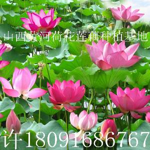 山西莲藕出售产量每亩多少斤观赏莲藕荷花种植视频批发价格联系电话