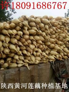 陕西水洗莲藕现在地头批发价格1.3元每斤包上车莲菜有哪些微信群?