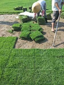草坪苗木销售以及绿化工程(自产自销无中介)