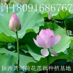 莲藕种子批发价格,观赏水生花卉种苗出售,哪里有荷花莲藕种苗买?