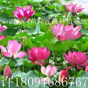哪里有好看观赏荷花莲藕种子苗买卖景观工程照片青海种植技术方法