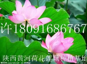莲藕种子批发价格好看观赏荷花莲藕种苗出售专业种植技术培训