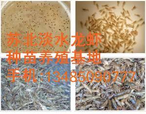 淡水小龙虾种苗批发包成活包回收免费提供提供养殖技术