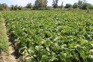 大量供应夏季白菜,翠绿新鲜、珠形紧凑、价格优惠,欢迎洽谈采购