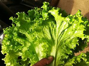 辽宁沈阳常年大量供应精品叶菜,生菜,无土水培蔬菜。