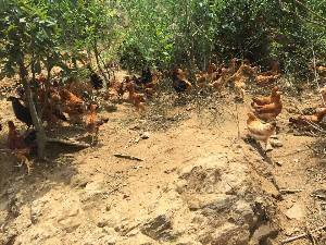 林間散養雞 土雞蛋