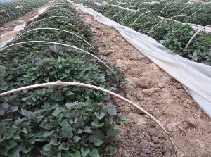 板栗紅薯苗