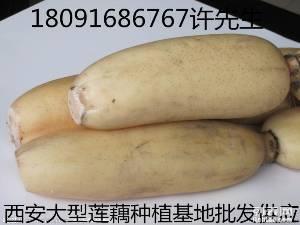 新疆乌鲁木齐莲藕最大的批发市场在哪里泥菜和水洗藕哪种质量好