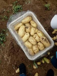 供应土豆,辽宁绥中农业产品代收处