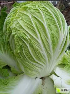 商丘夏邑縣種植白菜最大的基地