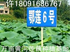 陕西榆林莲藕种子样板图片莲藕种苗效果照片视频批发详细了解情况