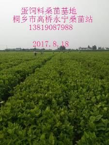 供应饲料桑苗农桑14号桑苗果桑苗(桐乡市永鸿苗木有限公司)