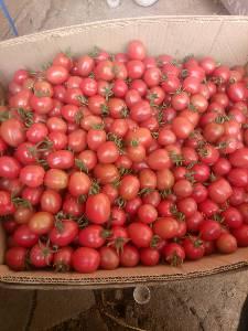 绿色无公害碧娇小柿子,自然成熟,不打药。另有黄色小柿子