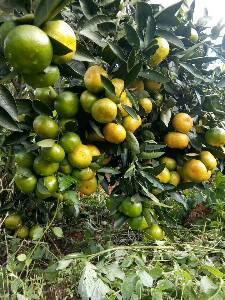 千思农林特早熟由良蜜桔苗规格30-80cm高9月成熟优质上市