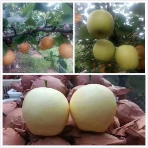 大量销售皇冠梨白梨圆黄梨 沙土地,梨甜子可上门选购