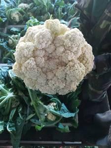 万亩蔬菜基地6到10月常年供应有机散花