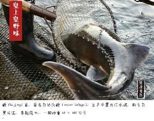 黑龙江鲟鳇鱼批发价格,黑龙江鲟鳇鱼多少钱一斤,黑龙江鲟鳇鱼哪里有卖的