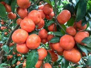 广西蒙山砂糖橘出售,价格实惠,果色正,个头大