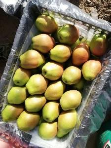 陕西红香酥梨种植基地,红香酥梨产地,红香酥梨价格