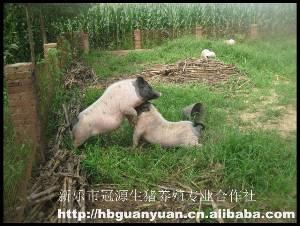 河北石家庄香猪养殖合作社供应优质巴马香猪