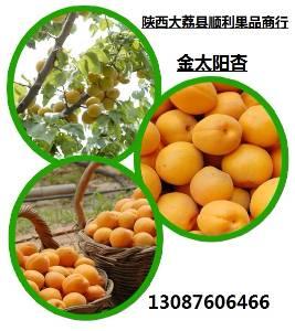 产地直销金太阳杏,陕西金太阳杏产地上市价格